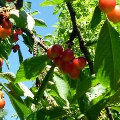 Cerisier-bigareau-'Napoleon'-Prunus-avium-3.jpg